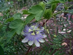 Passion flower smaller